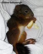 Eichhörnchen ca. 7 Wochen alt