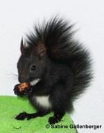 Eichhörnchen ca. 9 Wochen alt