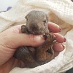 Eichhhörnchenbaby ca. 5 Wochen alt