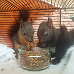 Eichhörnchen ca. 6 Wochen alt